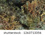 Stock photo front detail of spotted variable sea hare aplysia dactylomela among short brown algae on flat 1263713356