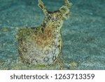 Stock photo spotted variable sea hare aplysia dactylomela raising head high up on flat sandy bottom 1263713359
