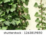 a wall of common ivy. usuable... | Shutterstock . vector #1263819850
