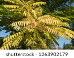 autumn colours of a chinese... | Shutterstock . vector #1263902179