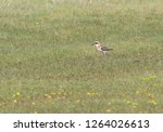 adult male greater sand plover  ... | Shutterstock . vector #1264026613