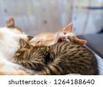 Stock photo mother cat nursing her little kittens close up gray tabby kitten sucks milk cute ginger kitten 1264188640