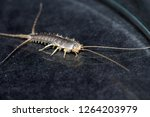 Closeup of a long tailed silverfish, Ctenolepisma longicaudata, also called gray silverfish. It has a grain of sugar in its mouth.