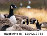 A Gaggle Of Geese On A Grassy...