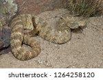tiger rattlesnake  crotalus... | Shutterstock . vector #1264258120