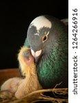 pigeon feeding milk crop to new ... | Shutterstock . vector #1264266916