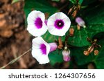 natural pink white flowers | Shutterstock . vector #1264307656