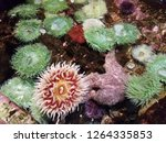 green sea anemones in shallow water or tidepool with starfish