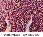 farmer harvesting fresh coffee... | Shutterstock . vector #1264339429