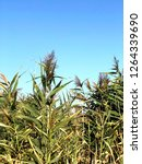 corn field against blue sky | Shutterstock . vector #1264339690