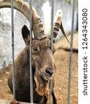 portrait of a goat | Shutterstock . vector #1264343080