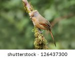 the spectacled barwing ... | Shutterstock . vector #126437300