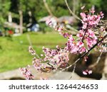 prunus cerasoides flower sakura ... | Shutterstock . vector #1264424653