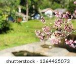 prunus cerasoides flower sakura ... | Shutterstock . vector #1264425073