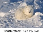 Arctic Fox Lying On Arctic...