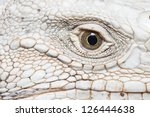 Closeup An Iguana Face.