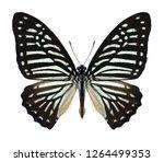 Butterfly Graphium Macareus ...