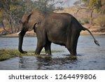 elephants crossing river in...   Shutterstock . vector #1264499806