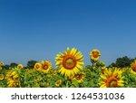 beautiful yellow sunflower... | Shutterstock . vector #1264531036