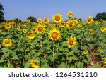 beautiful yellow sunflower... | Shutterstock . vector #1264531210
