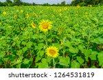 beautiful yellow sunflower... | Shutterstock . vector #1264531819