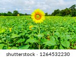 beautiful yellow sunflower... | Shutterstock . vector #1264532230