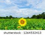 beautiful yellow sunflower... | Shutterstock . vector #1264532413