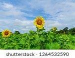 beautiful yellow sunflower... | Shutterstock . vector #1264532590