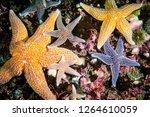 common starfish underwater in... | Shutterstock . vector #1264610059