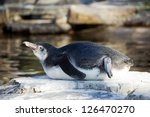 An Young Humboldt Penguin...