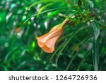 an orange flower attached to a... | Shutterstock . vector #1264726936