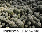 """a group of """"thimble cactus"""" in... 