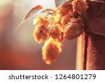yellow dry hops on a old wooden ... | Shutterstock . vector #1264801279