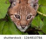 Stock photo curious baby lynx 1264810786