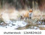 Red Fox In A Winter Landscape ...