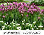 field of siam tulips or dok... | Shutterstock . vector #1264900210