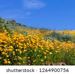 California Poppies in bloom on a hillside