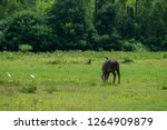 black buffalo eating grass in a ...   Shutterstock . vector #1264909879