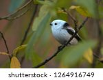 european long tailed tit ...   Shutterstock . vector #1264916749