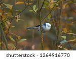 european long tailed tit ...   Shutterstock . vector #1264916770