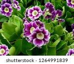 Bunch Evening Primrose Plant ...