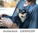 chihuahua dog is in the embrace ... | Shutterstock . vector #1265042209