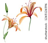 orange lilium floral botanical...   Shutterstock . vector #1265126596
