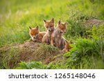 Stock photo red fox vulpes vulpes small young cubs near den curiously weatching around cute little wild 1265148046