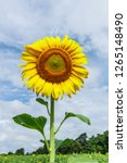 beautiful yellow sunflower and...   Shutterstock . vector #1265148490
