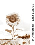 beautiful yellow sunflower and...   Shutterstock . vector #1265168713