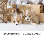 two small puppies welsh corgi... | Shutterstock . vector #1265216980
