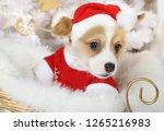 little funny welsh corgi... | Shutterstock . vector #1265216983
