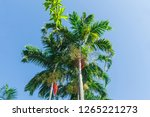 the leaves of the palm tree are ... | Shutterstock . vector #1265221273