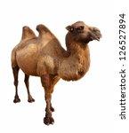 Standing Bactrian Camel ...